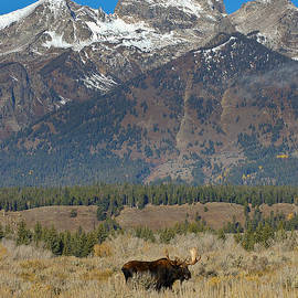 Bull Moose and Mountains