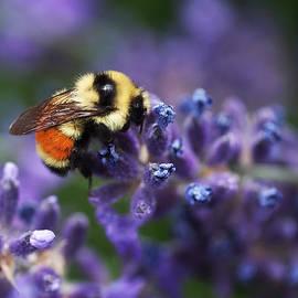Rona Black - Bumblebee on Lavender