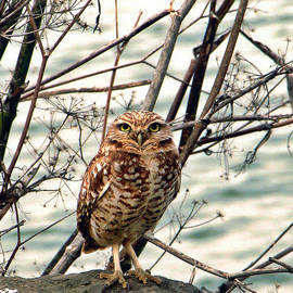 California Coastal Commission - Burrowing Owl by Vladimir Graizer