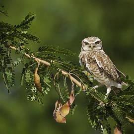 Burrowing Owl on a Branch  by Saija  Lehtonen