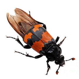 Burying Beetle  by Torbjorn Swenelius