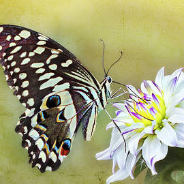 Ronel Broderick - Butterfly Food at Dahlia Flower