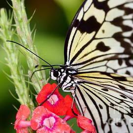 Pamela Gail Torres - Butterfly Kisses