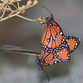 Butterfly Love by Ruth Jolly