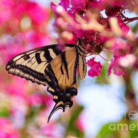 Debby Pueschel - Butterfly on the Crepe Myrtle.