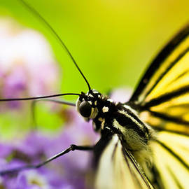 Sebastian Musial - Butterfly