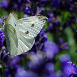 Jordan Blackstone - Cabbage Butterfly on Blue Flowers