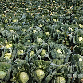 Robert Bales - Cabbage Farm