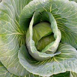 Jacqueline Athmann - Cabbage
