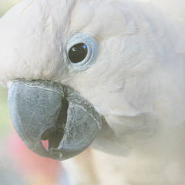 Cacatua moluccensis - Moluccan Cockatoo by Sharon Mau