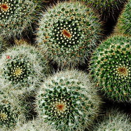 Cacti by Linda Covino