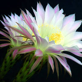 Cactus Flowers At Dawn by Douglas Taylor