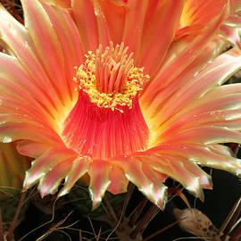 Judy Whitton - Cactus Volcano
