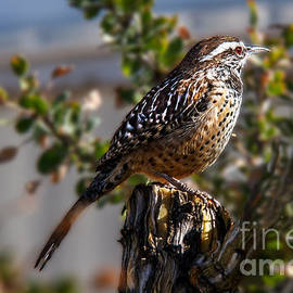 Cactus Wren by Robert Bales