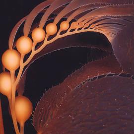 California Coastal Commission - California Giant Brown Kelp by Derek Tarr