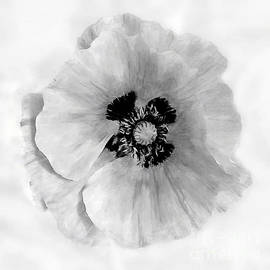 California Poppy White on White by Bob and Nadine Johnston