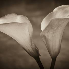 Calla Lilies In Sepia by Sebastian Musial