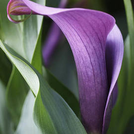 Calla Lily in Purple Ombre by Rona Black