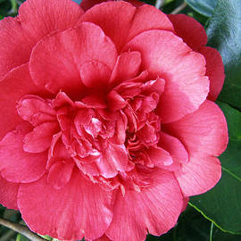 Camellia 1 by Helene U Taylor