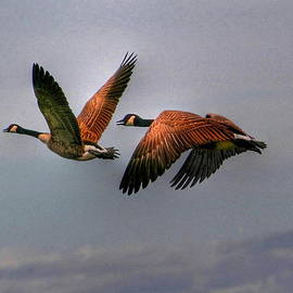 Larry Trupp - Canada Geese in Flight