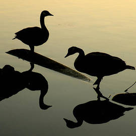 Brian Chase - Canada Geese Reflections and Silhouettes