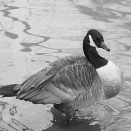 John Telfer - Canadian Goose In Black and White