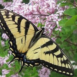 Canadian Tiger Swallowtail by Maciek Froncisz