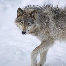 Nina Stavlund - Canis lupus..
