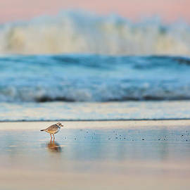 Cape Cod National Seashore Piping Plover by Bill Wakeley