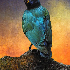 Cape Glossy Starling by Arkamitra Roy
