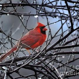 Cardinal in the Rain   by Nava Thompson
