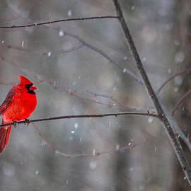 Karol Livote - Cardinal In The Snow