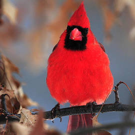 Mike Martin - Cardinal rests in Oak Tree