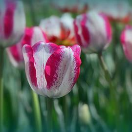 Allen Beatty - Carnaval de Nice Tulip