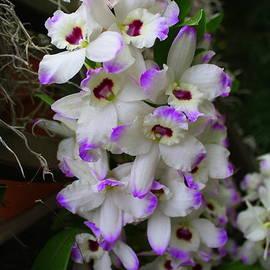 Dora Sofia Caputo Photographic Art and Design - Cascade of Orchids in White and Purple