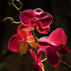 Cascade of Orchids by Julie Palencia
