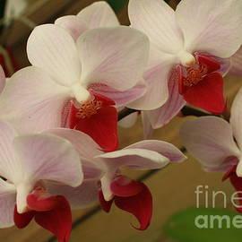 Dora Sofia Caputo Photographic Design and Fine Art - Cascade of White Orchids