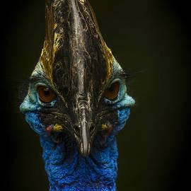 Cassowary  by Darren Wilkes