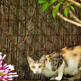 Calico Cat on the Fence by Samuel Gonzalez