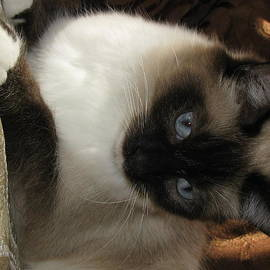 Cat Precious Seal Point Mitted Long Hair by Pamela Benham