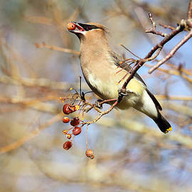 Peggy Collins - Cedar Waxwing Eating a Cherry