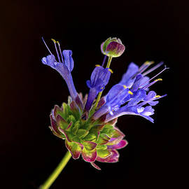 Celestial Blue Salvia by Joe Schofield