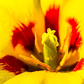 Center Of The Yellow Tulip by Alexander Senin