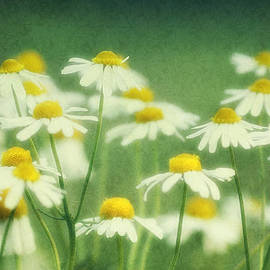 Chamomile by Claudia Moeckel
