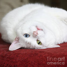 Terri Waters - Charlie the Deaf White Cat