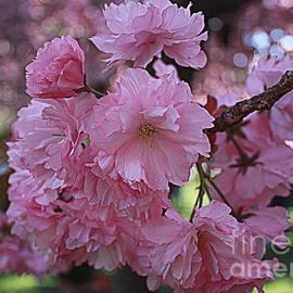 Cherry Blossoms in Full Bloom by Dora Sofia Caputo Photographic Design and Fine Art