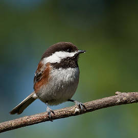Chestnut Backed Chickadee Perched on a Branch by Jeff Goulden