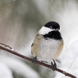 Chickadee In The Snow by Karin Pinkham