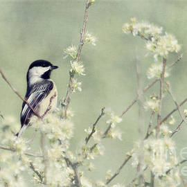 Pam  Holdsworth - Chickadee