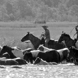 Chincoteague Wild Pony Swim - Black And White by Kim Bemis